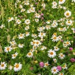 Field with daisies and grass — Stock Photo