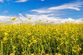 Field with yellow flowers — Stock Photo