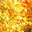 Maple leaves — Stock Video #31740993