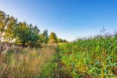 plantation of fodder corn — Stock Photo