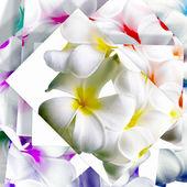 Flowers of Plumeria  — Stock Photo
