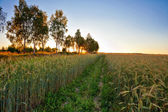 Sunset in summer field with rye  — Stock fotografie
