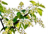 белый жасмин цветок на белом фоне — Стоковое фото