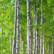 Stock Photo: Spring green birch forest