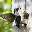 Starling feed his nestling — Stock Photo #16990183