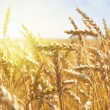 Grain in a farm field at sunset time — Stock Photo
