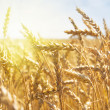 Stock Photo: Grain in a farm field at sunset time