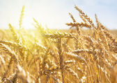Grain in a farm field at sunset time — Stockfoto