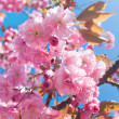 Japanese cherry with blossom — Stock Photo #21443793