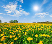 Yellow flowers hill under blue cloudy sky — Stock Photo