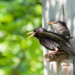 Stock Photo: Starling and his nestling
