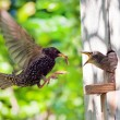Starling and his nestling — Stock Photo