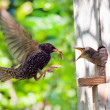 Starling and his nestling — Stock Photo #34414773