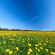 Yellow flowers field under blue cloudy sky — Stock Photo
