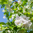 Blossom apple tree — Stock Photo #34443937