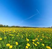 Gula blommor fält under blå molnig himmel — Stockfoto