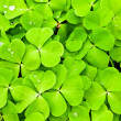 Stock Photo: Green clover background
