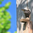Stock Video: Starling Feed His Nestling