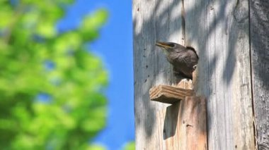 Starling Feed His Nestling — Stock Video