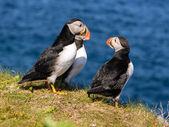 Atlantic puffins — Stock Photo