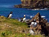 Atlantic puffins — Stock Photo