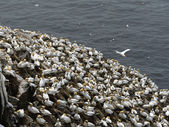 Northern gannets — Stock Photo