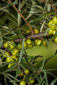 Branch of raw Sea-buckthorn — Stock Photo