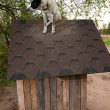 Dog sitting on te roof — Stock Photo #13770155