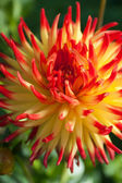 Red yellow Dahlia flower — Стоковое фото