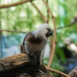 Cotton-top tamarins (Saguinus Oedipus) — Foto de Stock