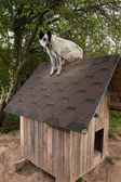 Dog sitting on te roof — Foto de Stock