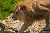 Lion in the salzburg zoo — Stock Photo