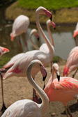 Pink flamingo standing — Photo