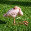 Sleeping flamingo — Stock Photo