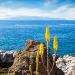 Aloe Verflowers. Tenerife, Canary Islands, Spain — Stock Photo #38893925