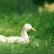 Female Duck on green grass - Stock Photo