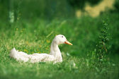 Female Duck on green grass — Stock Photo