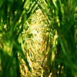 CornField — Stock Photo #12882472
