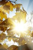 Sun in autumn leaves — Stock Photo