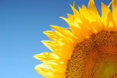 Sunflower over clear blue sky — Stock Photo