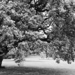 Black and white big lonely oak tree — Stock Photo