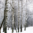 Birch winter alley — Stock Photo #13523395