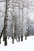 Birch winter alley — Stock Photo