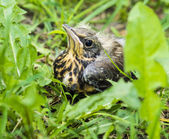 Young song thrush chick sitting in grass — Stock Photo
