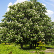 Chestnut tree with white flowers and blue sky — Stock Photo #29316505