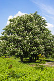 Chestnut tree with white flowers and blue sky — Stock Photo