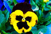 Pansy viola tricolor flower — Stock Photo