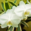 White Phalaenopsis orchid — Stock Photo