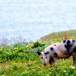 Spotty pig in wildflowers — Stock Photo #41639849