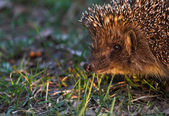 Portret of hedgehog — Stock Photo